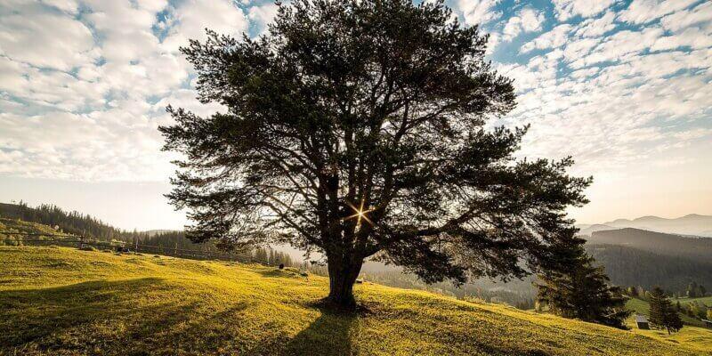 de drie bomen