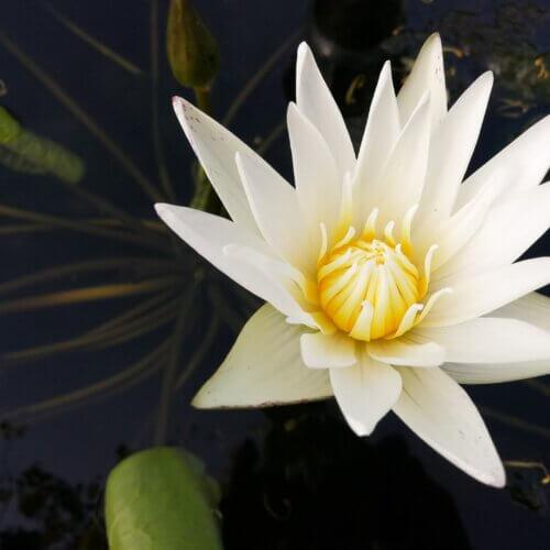 witte lotus
