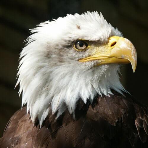 adelaar als krachtdier