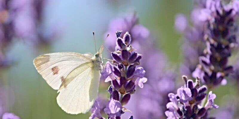 Spiritueel kruid: de Lavendel