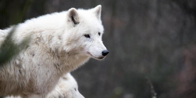 De oude indiaan en de wolf