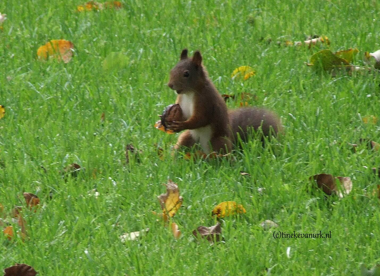 Eekhoorn met een walnoot