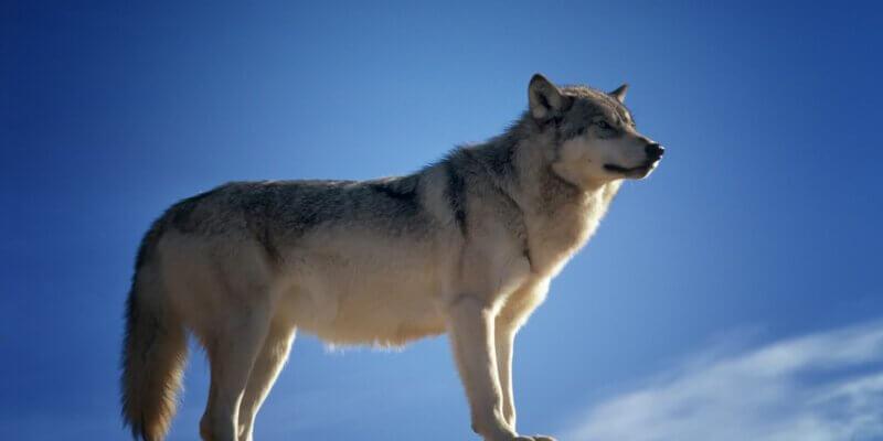 krachtdier de wolf